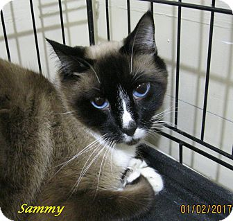 Siamese Cat for adoption in Chisholm, Minnesota - Sammy