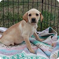 Adopt A Pet :: Venus $250 - Seneca, SC