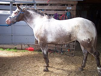Appaloosa Mix for adoption in Dewey, Illinois - Ellie Mae