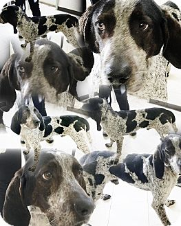 Bluetick Coonhound/German Shorthaired Pointer Mix Dog for adoption in Hot Springs, Virginia - Derrick