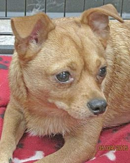 Chihuahua Mix Dog for adoption in Conroe, Texas - Lucky