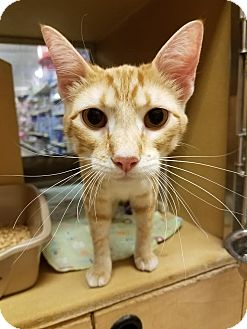 Domestic Shorthair Cat for adoption in Oklahoma City, Oklahoma - Little Man