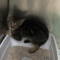 Adopt A Pet :: Stripes - Santa Paula, CA