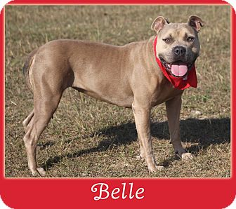 Staffordshire Bull Terrier Mix Dog for adoption in Hillsboro, Texas - Belle