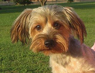 Yorkie, Yorkshire Terrier Puppy for adoption in Greenville, Rhode Island - Sam
