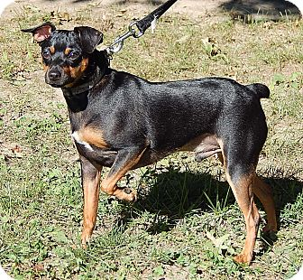 Miniature Pinscher Dog for adoption in West Sand Lake, New York - Toby (12 lb) A Cutie!