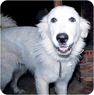 Great Pyrenees Dog for adoption in Kyle, Texas - Piper