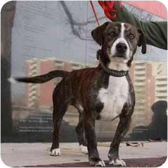 Hound (Unknown Type)/Boxer Mix Dog for adoption in Denver, Colorado - George