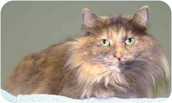 Maine Coon Cat for adoption in Batavia, Ohio - Sebring