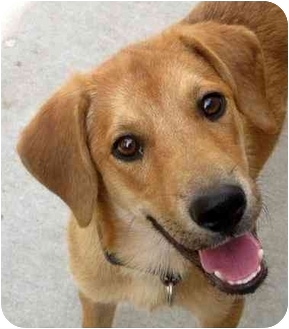 Beagle/Labrador Retriever Mix Dog for adoption in Chicago, Illinois - Dusty*ADOPTED!*