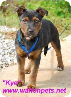 Rottweiler Mix Dog for adoption in Monroe, Georgia - Kye