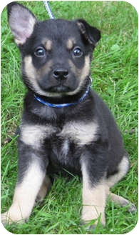 Collie Mix Puppy for adoption in Mt. Prospect, Illinois - Strudel