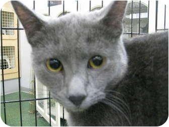 Russian Blue Cat for adoption in Chandler, Arizona - Blu