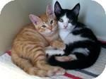Domestic Mediumhair Kitten for adoption in Red Bluff, California - Demonte