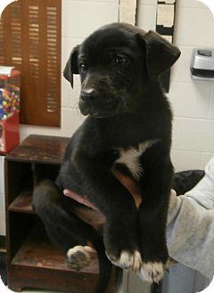 Labrador Retriever/Border Collie Mix Puppy for adoption in Laingsburg, Michigan - Rosey