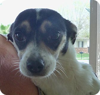 Parson Russell Terrier Mix Dog for adoption in San Diego, California - Darcy URGENT
