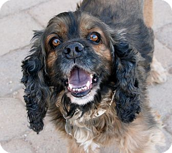 Cocker Spaniel Dog for adoption in Scottsdale, Arizona - Leroy Brown