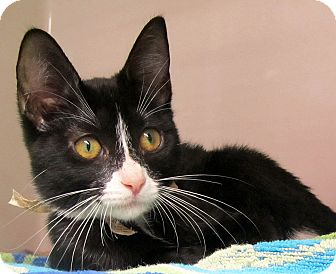 Domestic Shorthair Kitten for adoption in Seminole, Florida - Lily