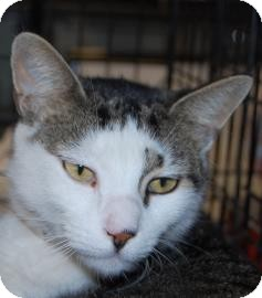 Domestic Shorthair Cat for adoption in Brooklyn, New York - Jared