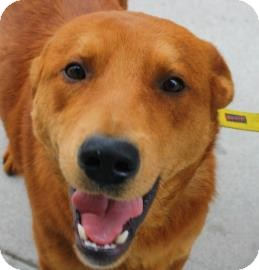 Golden Retriever Mix Dog for adoption in Brooklyn, New York - Joey