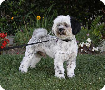 Bichon Frise/Shih Tzu Mix Dog for adoption in Newport Beach, California - CHECKERS