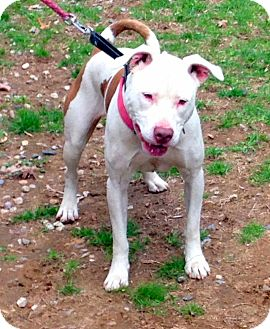 Pit Bull Terrier Mix Dog for adoption in Bloomfield, Connecticut - Calla