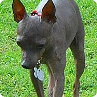 Adopt A Pet :: SheaDee - Oklahoma City, OK