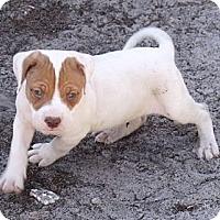 Adopt A Pet :: Rolo...puppy - ....., FL