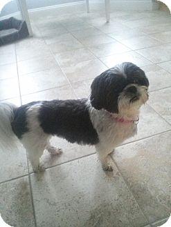 Shih Tzu Mix Dog for adoption in Acushnet, Massachusetts - Mia