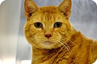 Domestic Shorthair Cat for adoption in Fort Smith, Arkansas - Garfield
