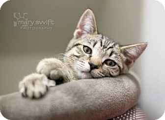 Domestic Shorthair Kitten for adoption in Reisterstown, Maryland - Relish