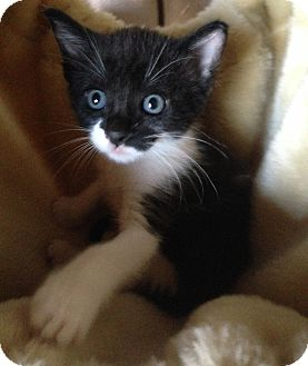 Domestic Shorthair Kitten for adoption in Fort Worth, Texas - Pandora