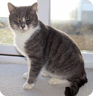 American Shorthair Cat for adoption in Ruther Glen, Virginia - Zane Grey