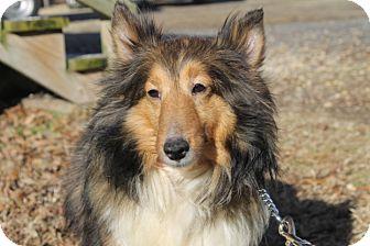 Sheltie, Shetland Sheepdog Mix Puppy for adoption in Waldorf, Maryland - Matchbox