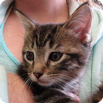 Domestic Shorthair Kitten for adoption in Middletown, New York - Solo