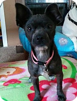 Chihuahua/Terrier (Unknown Type, Small) Mix Dog for adoption in Lakeland, Florida - Lucy