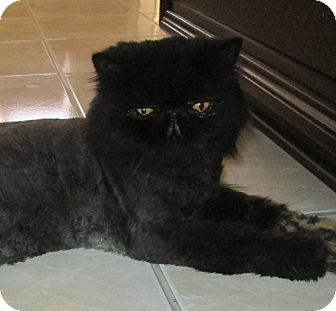 Persian Cat for adoption in Gilbert, Arizona - Jokers Wild