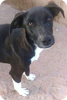 Border Collie/Labrador Retriever Mix Puppy for adoption in Las Vegas, Nevada - Cal's Flicker