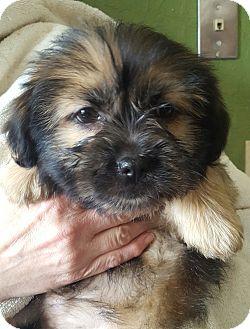 Shih Tzu/Tibetan Terrier Mix Puppy for adoption in Minerva, Ohio - Yoshi