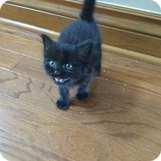 Domestic Shorthair Kitten for adoption in Yukon, Oklahoma - Maris