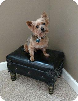 Yorkie, Yorkshire Terrier Dog for adoption in Urbandale, Iowa - Dexter