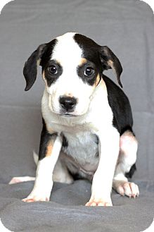 Hound (Unknown Type) Mix Puppy for adoption in Waldorf, Maryland - Holly