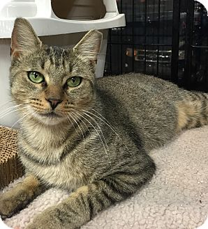Domestic Shorthair Cat for adoption in Horsham, Pennsylvania - Layla