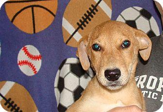 Labrador Retriever/Golden Retriever Mix Puppy for adoption in Oviedo, Florida - Casey