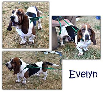 Basset Hound Mix Dog for adoption in Marietta, Georgia - Evelyn
