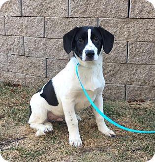 Border Collie/Labrador Retriever Mix Puppy for adoption in Brattleboro, Vermont - Al is in Rhode Island!
