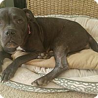 """Adopt A Pet :: Daphne """"Boogz"""" - Des Peres, MO"""