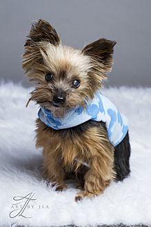 Yorkie, Yorkshire Terrier Dog for adoption in Baton Rouge, Louisiana - Louie