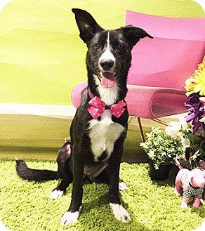 Labrador Retriever Mix Dog for adoption in Castro Valley, California - Lakota