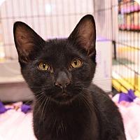 Adopt A Pet :: Midnight - Flushing, MI